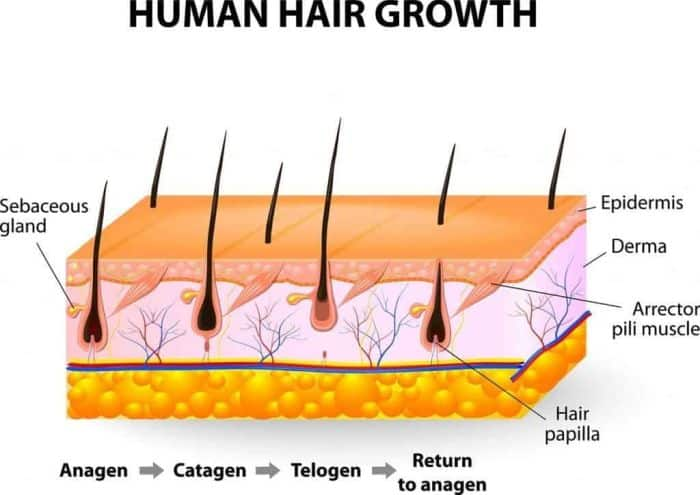 3 Stages of Human Hair Growth